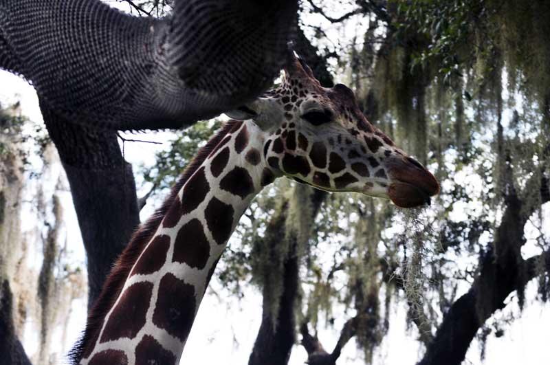 Animal Kingdom Giraffe on Safari