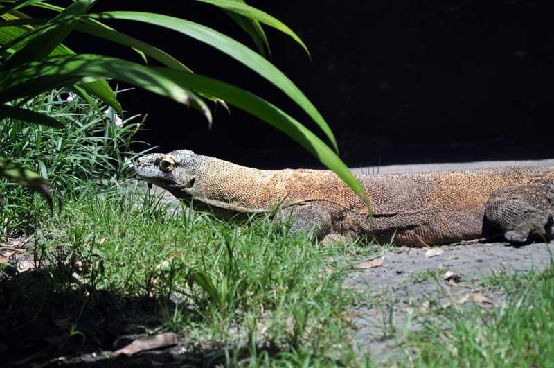 Animal Kingdom Komodo Dragon