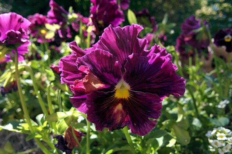Purple Ruffled Pansy
