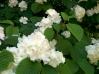 Popcorn Doublefile Viburnum